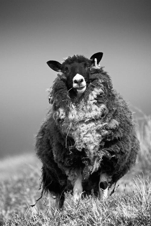 Sheep, Wester Quarff, Shetland Isles