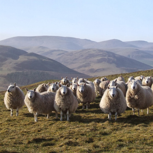 RO cheviot sheep